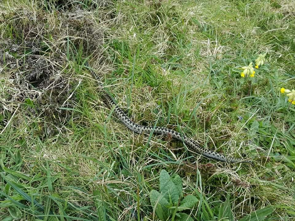 Adder in Pembrokeshire