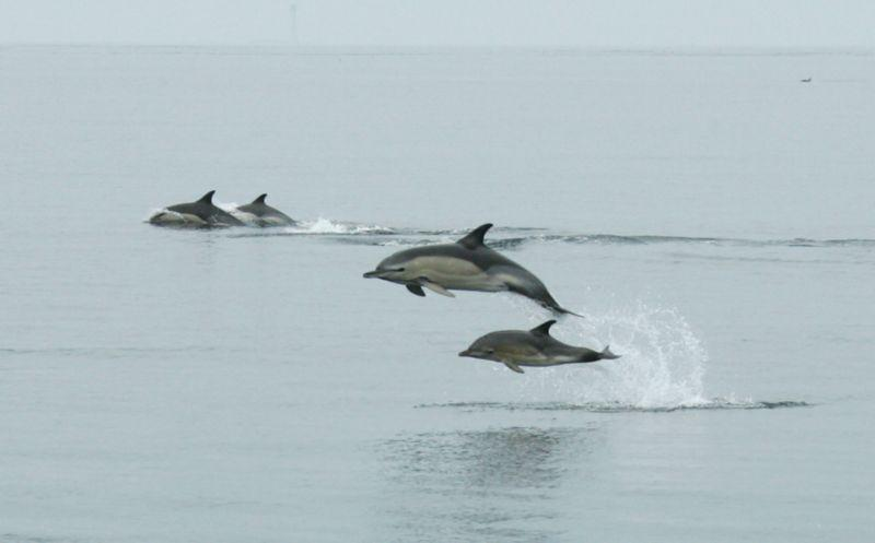 Dolphins seen off the Pembrokeshire coast