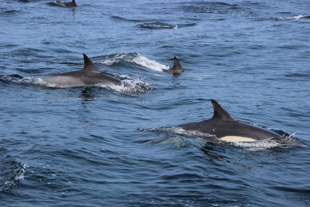 Sea swimming with dolphins in Pembrokeshire
