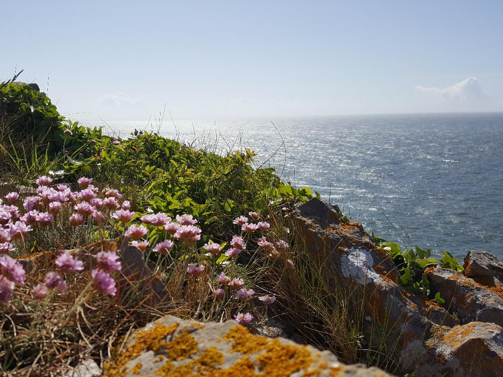 Wildflowers on the coastal path at Pembroksehire