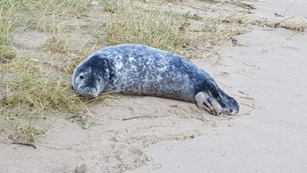 Seal on beach at Barafundle Bay Pembrokeshire